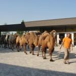 Karawane im Zoo Zürich (Tengri, Farouk, Sambal, Gambai, Baikal)