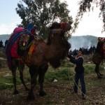 Grosse Kamele in Selcuk