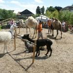 Kamelpräsentation im Zoo Zürich