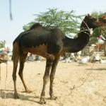 Der Kamelfriseur hat viele Kunden!