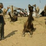 In Indien gibt es grosse Kamele!