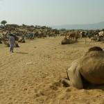 Pushkar Kamelmarkt