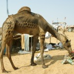 Frisch vom Kamelfriseur!