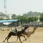 Kamelrennen in Pushkar