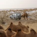 Wildkamel-Hengst attackiert den Jeep