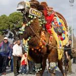 Kamelparade vor dem Fest