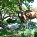 Freilaufende Kamele im Olivenhain