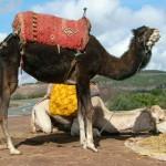 Kamele für Touristenfotos am Strassenrand